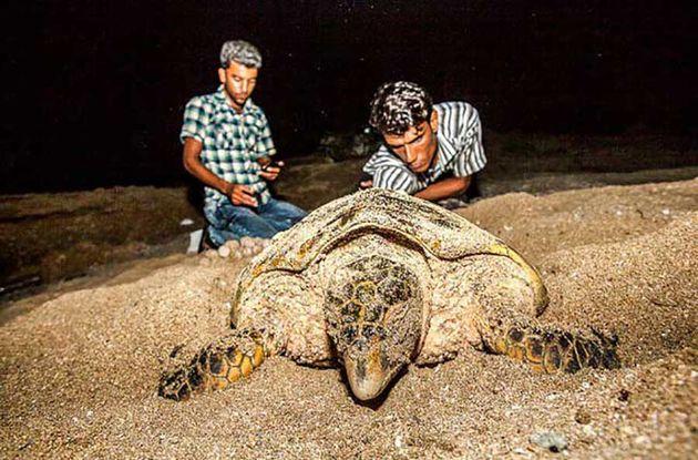 تخم گذاری بیش از ۱۳ لاک پشت در سواحل شیب دراز قشم