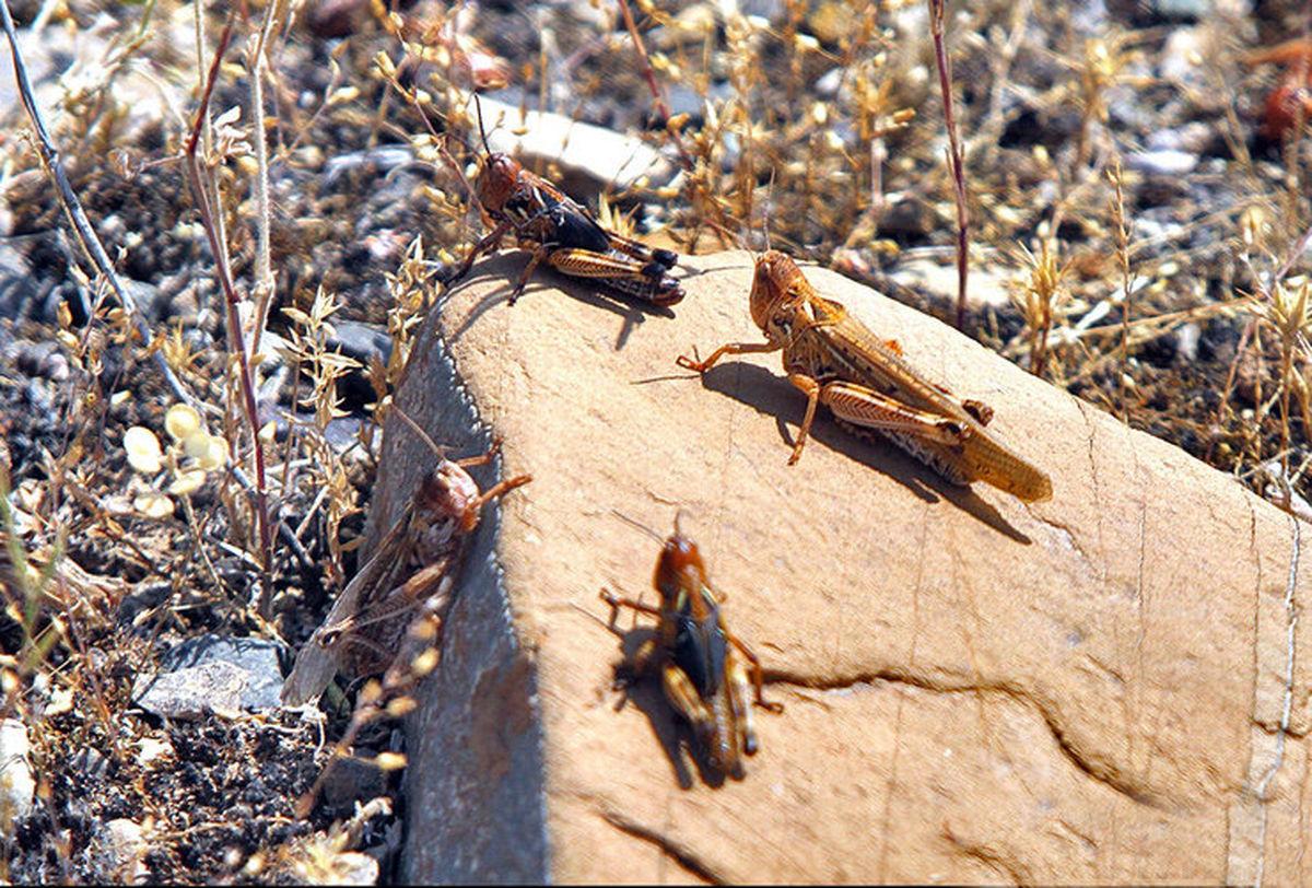 سمپاشی بوستانهای جنگلی حاشیه شهر علیه آفت ملخ آغاز شد