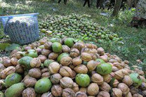 پیش بینی کاهش 40 درصدی برداشت گردو نسبت به سال گذشته از باغات استان اصفهان