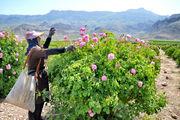 برداشت گل محمدی در 12 هکتار از اراضی کلاردشت