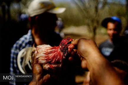 جنگ خروس ها در کوبا