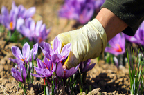 پیش بینی برداشت بیش از 250 کیلوگرم زعفران از مزارع بخش میمه