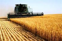 تولید 500 هزار تن گندم از مزارع استان اردبیل