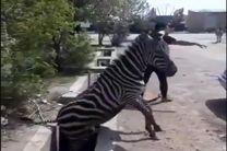 بیتدبیری مسئولان بعد از گرفتن جان شیر و خرس اینبار مرگ گورخر آفریقایی را رقم زد/چرا حیوان وارد می کنید!؟