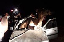 یک کشته در اثر برخورد خودرو با شتر در جاسک