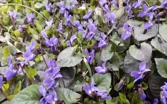آغاز برداشت گل بنفشه در کاشان / برداشت سالانه بیش از ۲۰۰ کیلوگرم گل بنفشه خشک