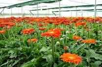 تولید سالیانه 8 و نیم میلیون گل شاخه بریده در استان کرمانشاه