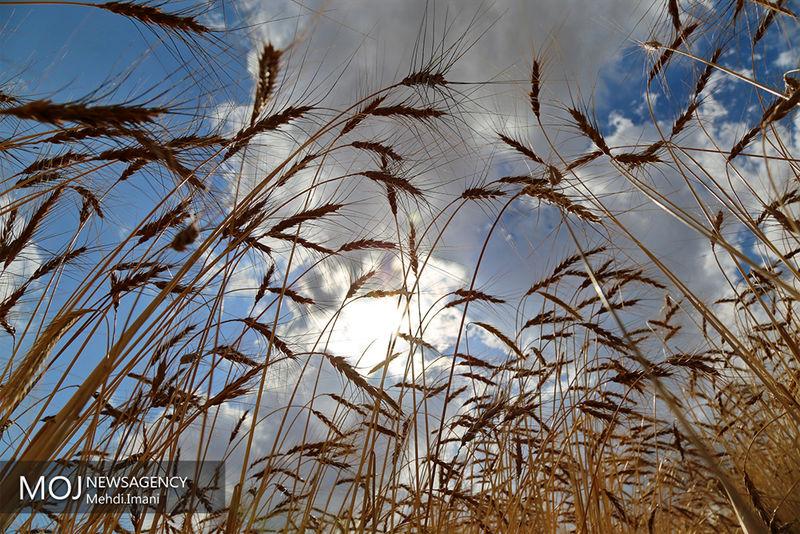 مبارزه با علف های هرز مزارع گندم و جو استان در سطح سه هزار و 389 هکتار