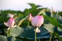 چهارمین جشنواره گلدهی لاله های تالابی در بندرانزلی برگزار شد