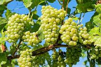 پیش بینی برداشت 760 تن انگور در فریدن