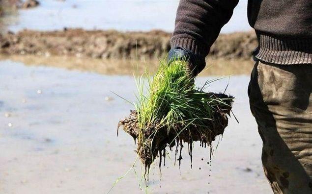 تامین 4500 تن انواع بذر توسط شبکه تعاون روستایی مازندران