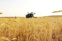 خرید تضمینی ۲۸۳ هزار تن گندم مازاد بر نیاز از کشاورزان لرستان