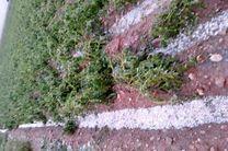 تگرگ به کشاورزان شهر  قلعه تل بیش از 6 میلیارد تومان خسارت وارد کرد/نداشتن حق بیمه صیفی جات مهمترین دغدغه کشاورزان