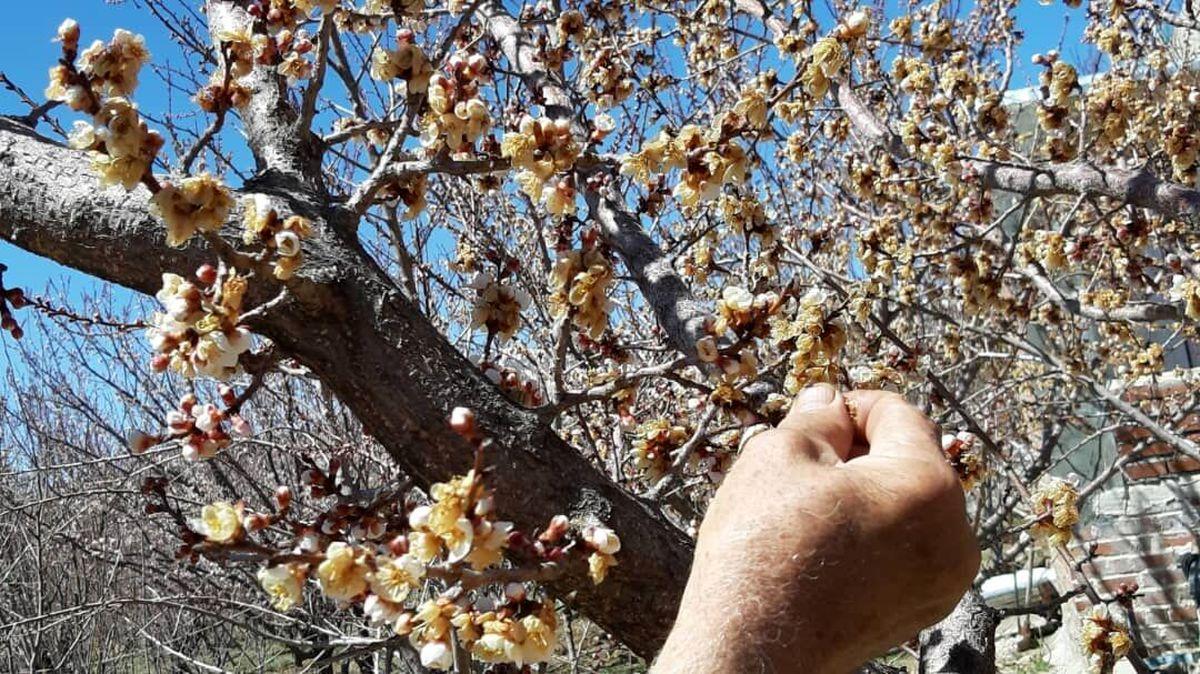 بیشترین خسارت باغ های میوه استان یزد بر اثر تغییرات جوی در شهرستان خاتم است