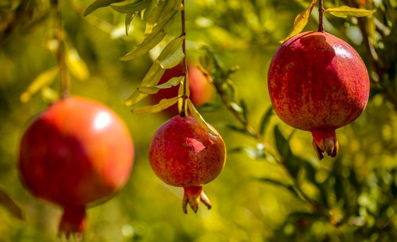 همایش باغداران انار شهرستان شهرضا برگزارشد