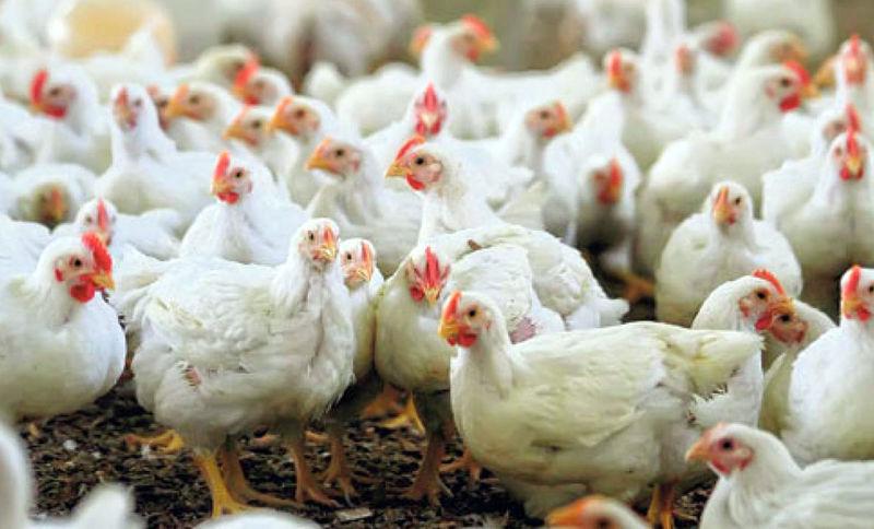 مرغداریهای گیلان در تأمین نهادهها و خوراک طیور هیچ مشکل خاصی ندارند