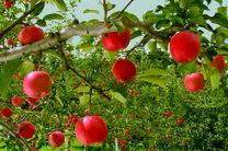 افزایش چشمگیر قیمت سیب در مازندران