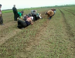 10 مزیت کاشت نشاء به جای بذر در زمینهای زراعی و گلخانهها