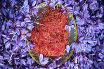پیش بینی برداشت 200 کیلو زعفران در مبارکه