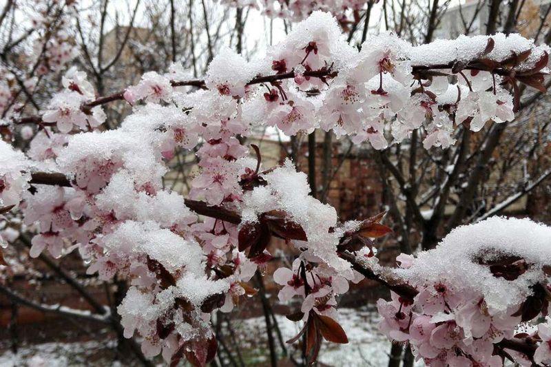 سرمازدگی به 30 درصد از باغ های میوه  مشگین شهر خسارت زد