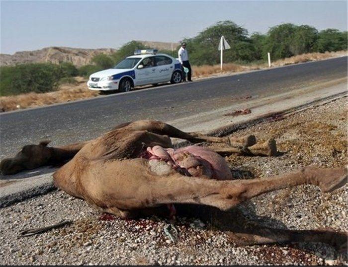 تصادف با شتر یک کشته و 4 مصدوم بر جای گذاشت
