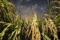 برنج مقاوم به شوری و خشکی در گیلان تولید می شود