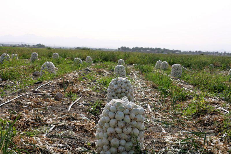 آغاز برداشت سیر محلی از ۱۰ هکتار اراضی کشاورزی بندرلنگه