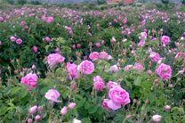 هفت هزار تن گل محمدی در کاشان برداشت شد