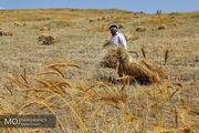 پیش بینی تولید ۱۳.۵ میلیون تن گندم در سال زراعی جاری/۴۷۵ هزار تن بذر گندم یارانه دار توزیع شد
