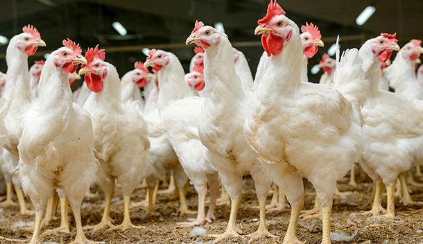 کشف بیش از هزار مرغ زنده قاچاق در اسدآباد