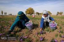 ۷۰ درصد مبلغ خرید حمایتی زعفران به کشاورزان خراسان رضوی پرداخت شد