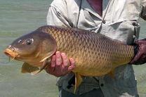 کاهش شدید صید ماهی کپور/ضرورت بازسازی این گونه