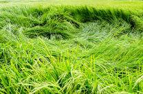 نگرانی برنج کاران گیلانی از بارندگی های مرداد / خوابیدگی برنج در ۱۰ درصد مزارع گیلان