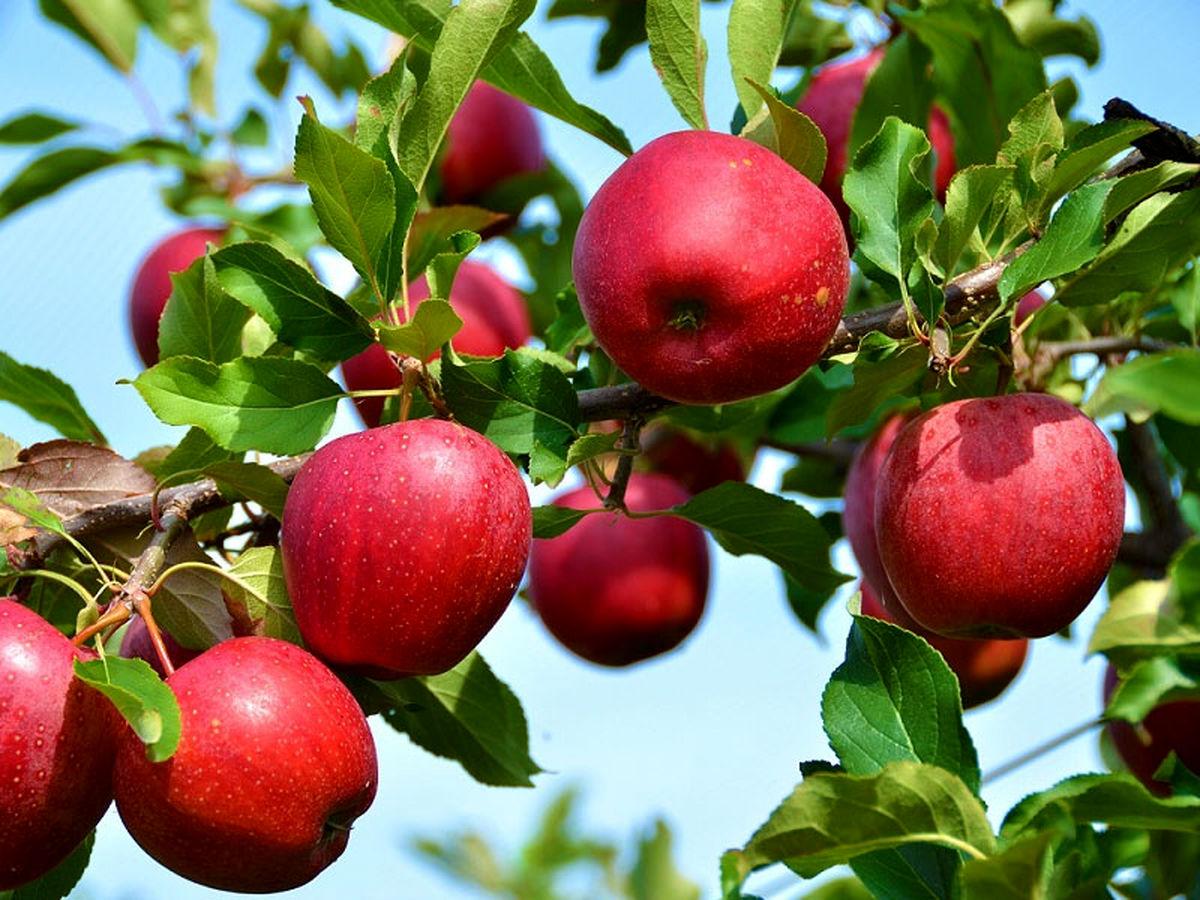 برآورد ذخیره سیب امسال حدود یک میلیون و ۳۰۰ هزار تن است