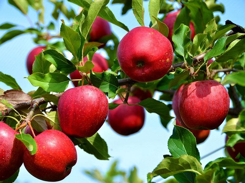 پیش بینی برداشت بیش از 200هزار تن سیب از باغات سمیرم