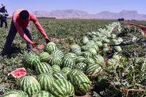 برداشت هندوانه از مزارع جاسک