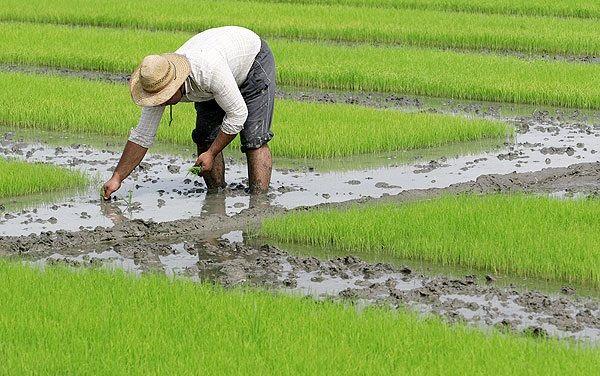 ممنوعیت کشت برنج در خوزستان 40 هزار نفر را بیکار می کند