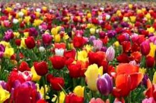 پهن شدن دو هزارمتر مربع فرش گل در قلب تهران