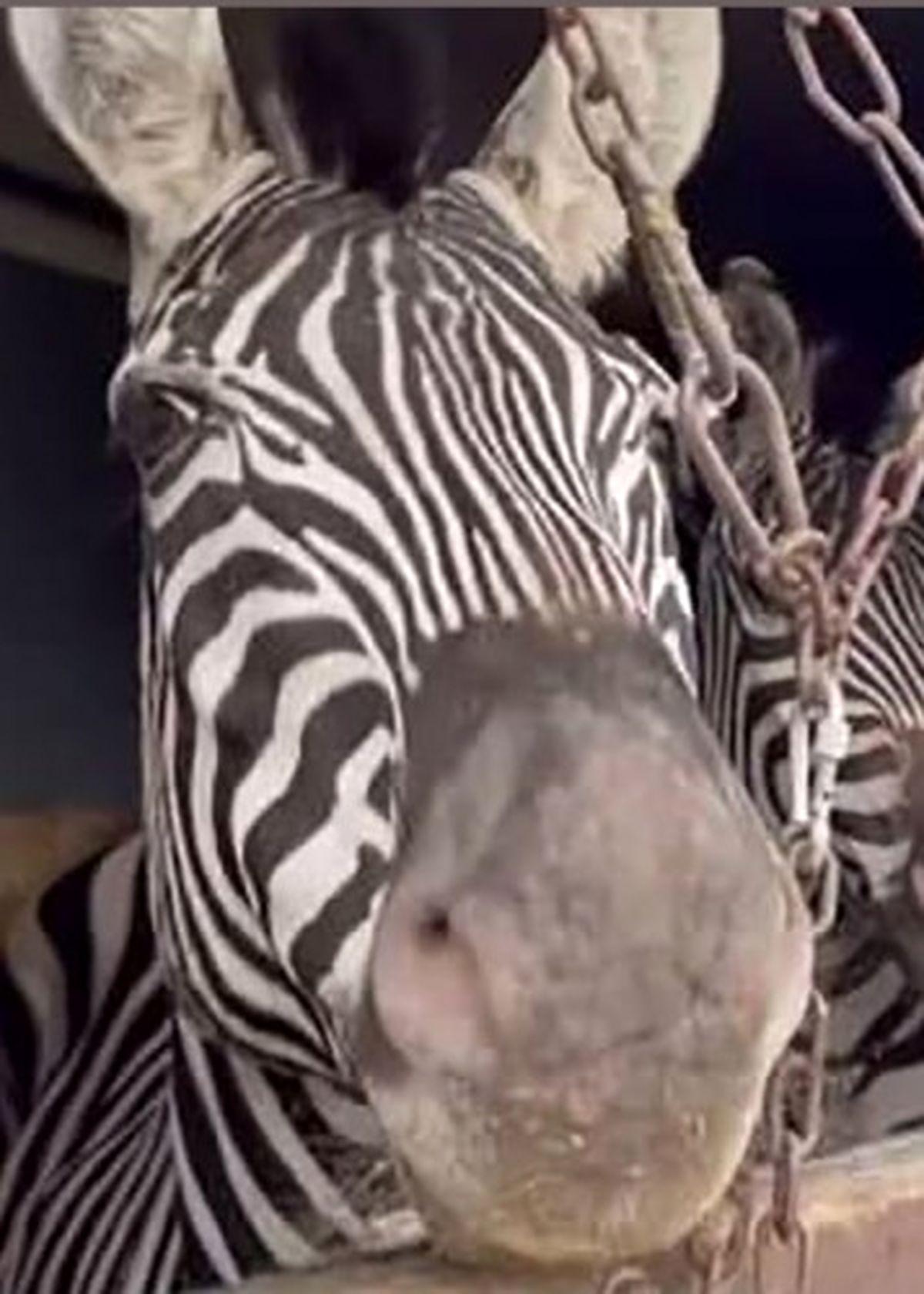 دومین گورخر آفریقایی باغ وحش صفادشت هم مرد!