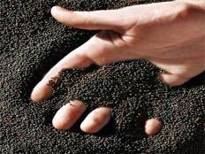 501 میلیون تومان کلزا از کشاورزان آملی خریداری شد