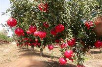 مازندران از استان های برتر تولید انار کشور است