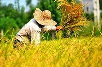 پیش بینی خرید بیش از 560 هزار تن گندم در اردبیل