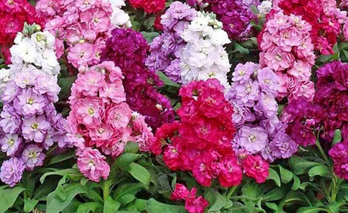 تولید گل و گیاه زینتی در ۲۴۷ هکتار در استان اصفهان / خمینی شهر بزرگترین تولیدکننده گل شب بو