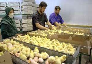 فعالیت 240 واحد مرغداری صنعتی دارای مجوز در ساری