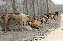 خیابانهای بندرعباس در قرق سگهای ولگرد