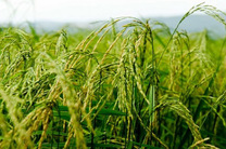 نخستین خوشه های برنج در فصل زراعی کنونی به بار نشست