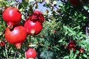 کاهش 60 درصدی برداشت انار به دلیل سرما در کاشان