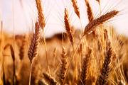 بیش از 30 هزار تن گندم در شهرستان نمین برداشت می شود