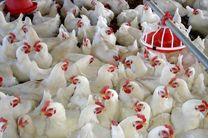 تولید سالانه دوهزار تن مرغ بدون آنتی بیوتیک در استان اصفهان