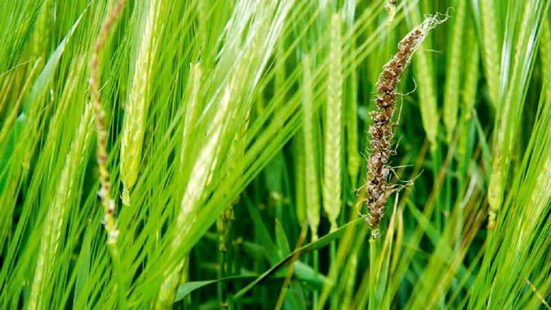 آغاز مبارزه با بیماری های مزارع گندم و جو در 977 هکتار در استان اصفهان